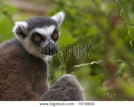 Endangered Ringed-Tailed Lemur