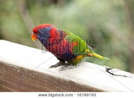 Colorful Tropical Bird Rainbow Lorikeet (Trichoglossus Haematodus)