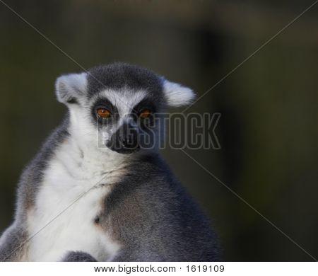 Basking Ringed-Tailed Lemur