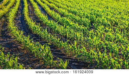 Fresh young green silage maize plants in curved rows seen in the low evening sun. Between the plant rows wheel tracks from agricultural equipment are visible in the soil.