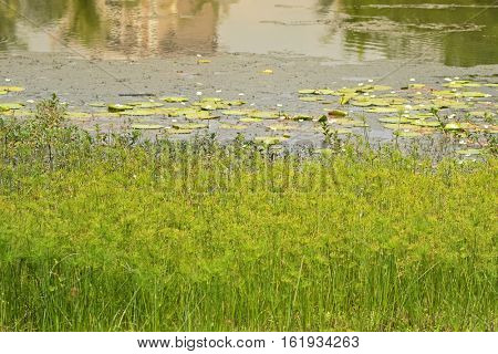 Soft focus of Cyperus Papyrus and other aquatic plants growing along eco lake, Singapore botanical gardens