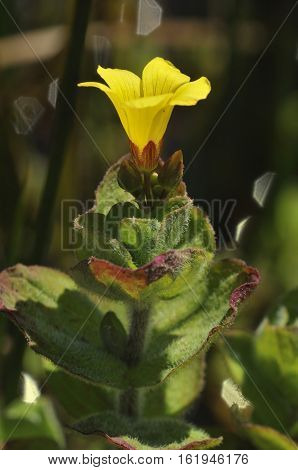 Marsh St John's-wort - Hypericum elodes Flower against dark background
