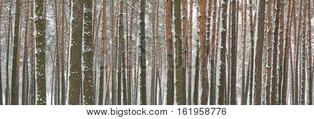 Snow covered pine trees in winter forest. Winter forest panorama. Outdoor woods nature landscape at cold day. Cold day in snowy winter forest. Beautiful winter panorama.