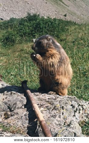 Photography of a marmot in the french alps