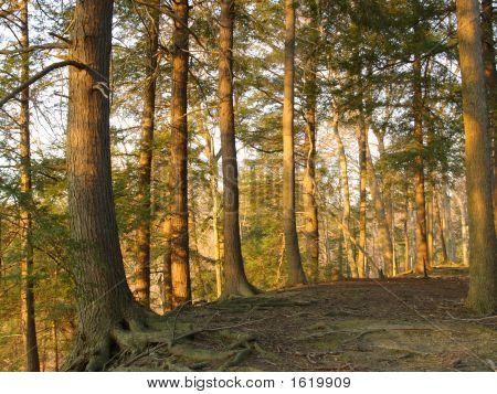 Trees In Setting Sunlight