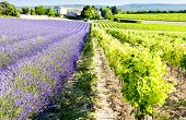 lavender field with vineyard, Drome Department, Rhone-Alpes, France