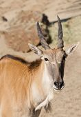 picture of eland  - young tauro tragus derbianus or common Eland - JPG