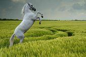 Постер, плакат: Серый воспитания в поле пшеницы