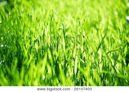 Outdoor closeup shot of a green grass in sunlights.