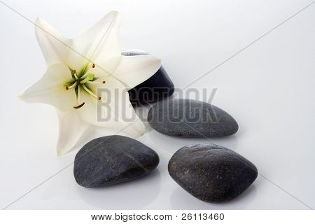 madonna lily with spa stones on white