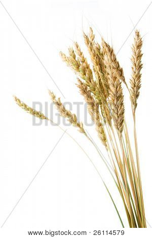Grain ears isolated over white background