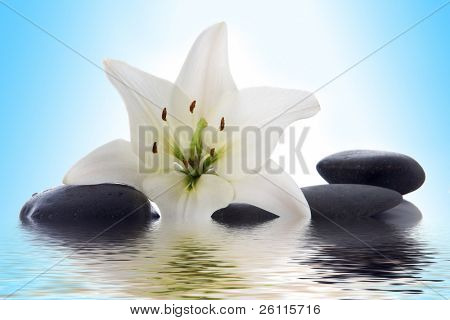 madonna lily and spa stone in water on blue