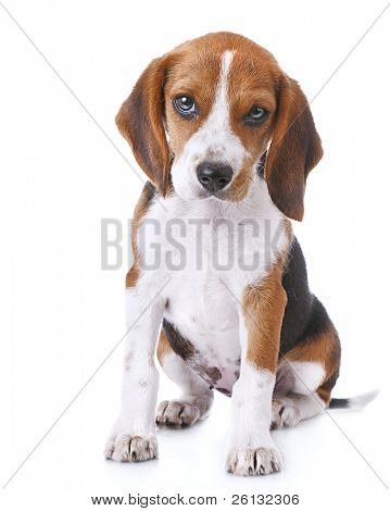 Beagle Hund over white background