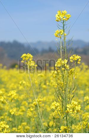 Field of mustard flowers in Napa Valley, California - Brassica juncea, Brassica nigra