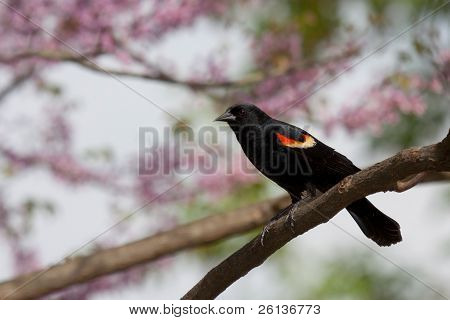 Redwing Blackbird In A Pastel Paradise