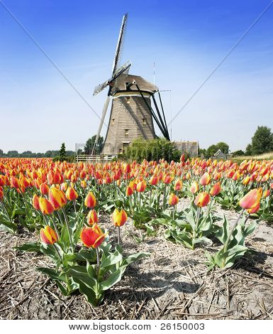 Stereotype Dutch landscape: an old windmill and a flower bed with tulips