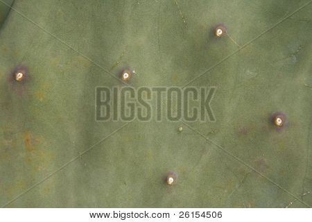 Spineless Cactus Succulent