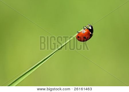 Lady bug on the tip of a leaf