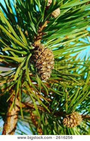 Pine Cone Under The Sun