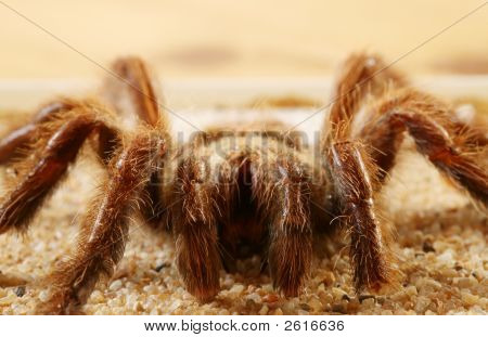 Big Spider (Avicularia Spec.)
