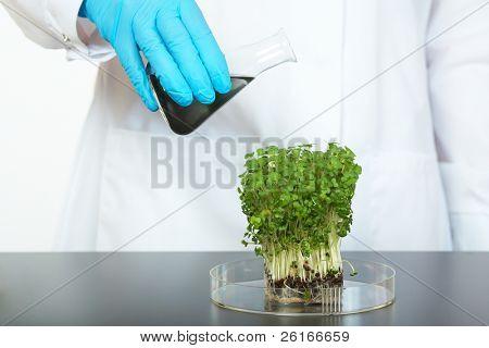 laboratory technician pour black liquid into tray with small plant