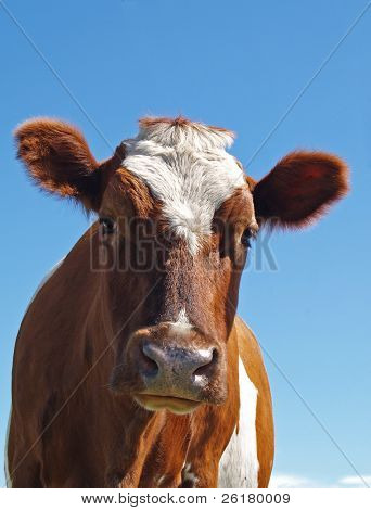 Ayrshire Cow against a Blue Sky