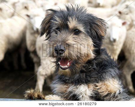 A beardy sheep dog looking over the rail
