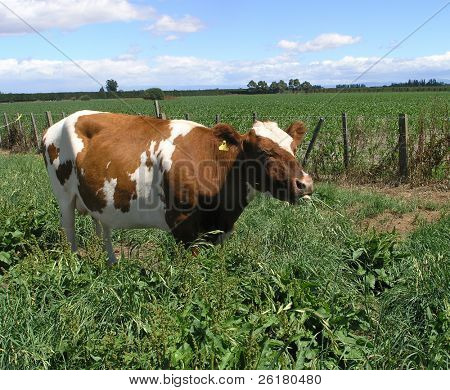 An Ayrshire cow with a mouthful of Grass