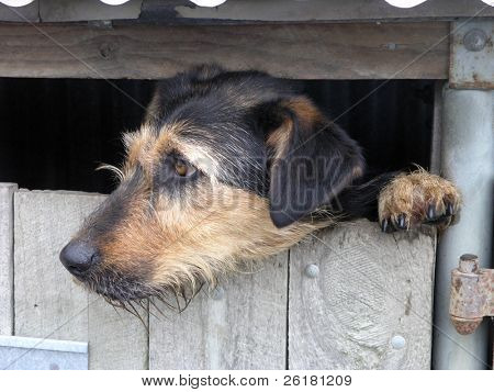 Beardy sheep dog watching from a kennel