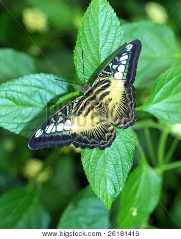 Parthenos Sylvia (Clipper Butterfly) on a green leaf
