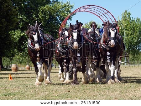 Team of six Clydesdales in action