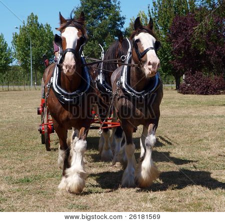 Pair of Clydesdales in harness walking towards the camera