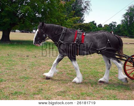 A roan clydesdale striding out with the carriage just coming in sight