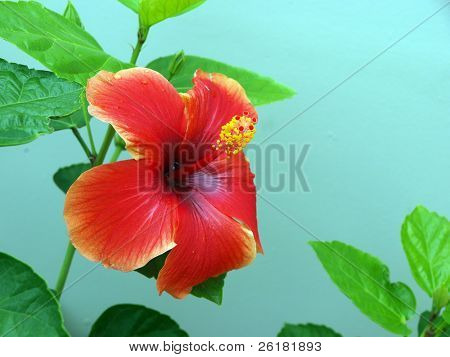 Single hibiscus flower against a torquise wall