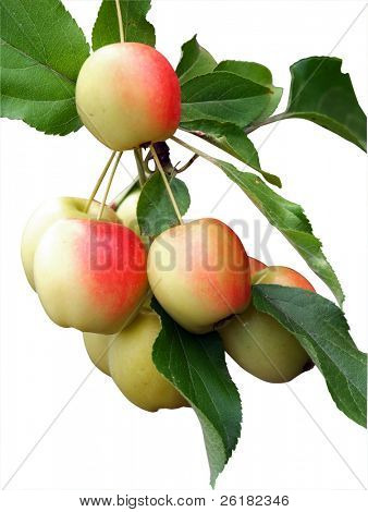 Apples on a tree isolated with clipping path