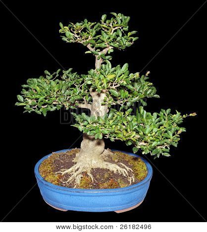 Bonsai Privet isolated with clipping path