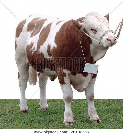Simmental Stier isolated with Clipping path