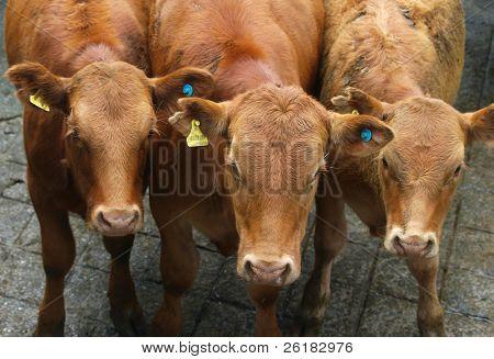 Three Red Devon Yearlings