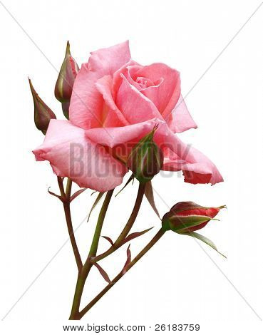 Pink Rose with Buds isolated with clipping path
