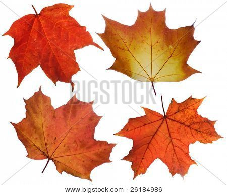 set of various autumn maple leaves isolated on white