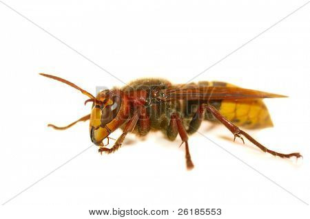 wasp macro isolated on white background