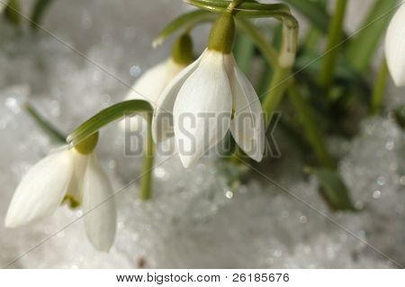 first springtime flowers - snowdrops on snow