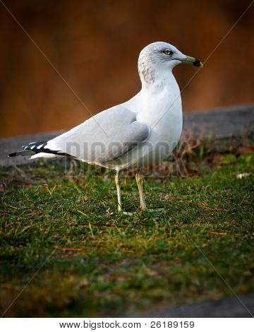Close-up Of Common American Gull Or Seagull