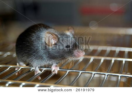 common laboratory mouse mus musculus, on cage
