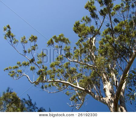 Eucalyptus tree against deep blue summer skies; Glass House Mountains, Queensland, Australia.