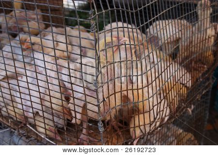 Young chickens crammed tightly into a small cage at a farmers' market on Crete.
