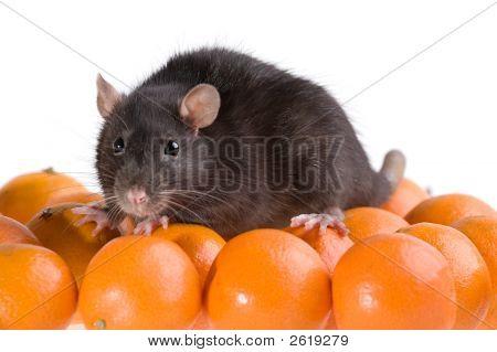Rat And Tangerines