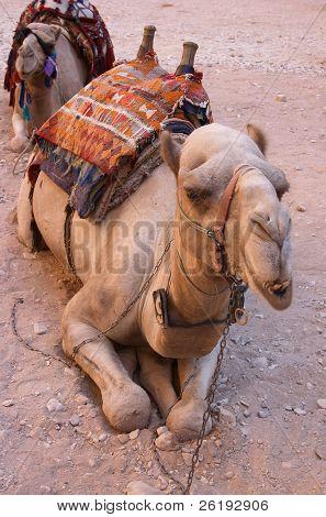 Grumpy camel at Petra, Jordan
