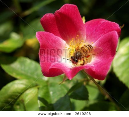 Bee In A Rose