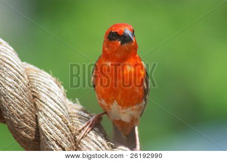 The male Red Cardinal or Madagascar Fody (Foudia madagascariensis), pictured in the Seychelles where it is common.